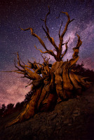 Bristlecone Pine Night Photography